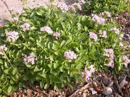 Valeriana supina | Wrightman Alpines Nursery