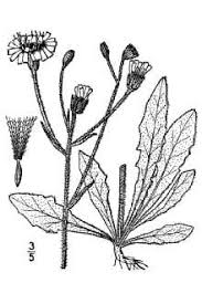 Plants Profile for Picris hieracioides (hawkweed oxtongue)