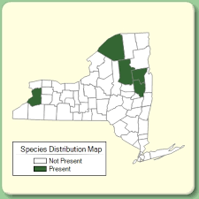 Trichophorum clintonii - Species Page - NYFA: New York Flora Atlas