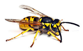 This is what a hornet looks like