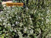 Thymus vulgaris (Common Thyme, English Thyme, Garden Thyme ...