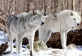 Image result for wolves