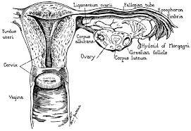 Clinical Anatomy of the Uterus, Fallopian Tubes, and Ovaries ...