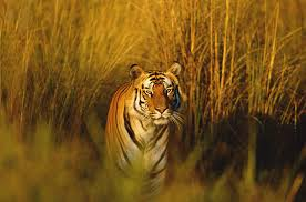 Wild <b>tigers</b> to return to Kazakhstan <b>70</b> years after going extinct