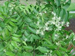 the neem tree and uses of neem seeds oil leaves bark and roots