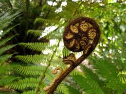 Image result for fiddlehead fern