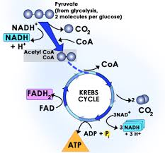 fhs bio wiki   krebs cyclethis is a diagram of the kreb cycle  the kreb cycle occurs after glycolisis  this is where a  carbon chain  a pyruvate  has its bonds broken to charge the
