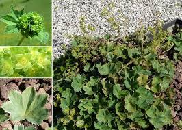 Alchemilla vulgaris L. - Portale alla flora del Parco Nazionale ...