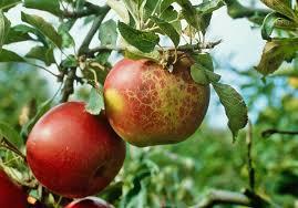 <b>Мучнистая</b> роса яблони | Болезни растений | «Сингента» в России