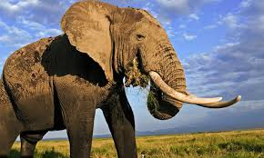 <b>Elephant</b> | Species | WWF