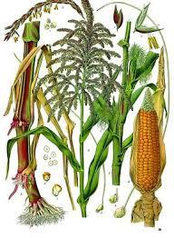 """Résultat de recherche d'images pour """"maïs"""""""