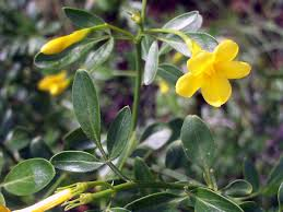 File:Jasminum fruticans FlowersCloseup 2009May10 ...
