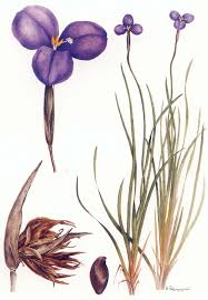 Flora of Australia, Volume 46, Iridaceae to Dioscoreaceae