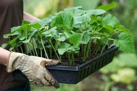 Жидкие <b>удобрения для рассады</b>: чем удобрять рассаду ...
