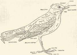 diagrammatic   definition  etymology and usage  examples and    diagrammatic outline of bird    s body
