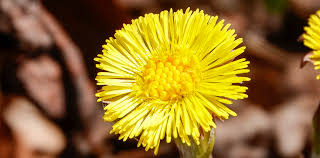 Adirondack Wildflowers: Coltsfoot | Tussilago farfara