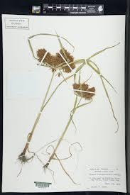 SEINet Portal Network - Carex ferruginea