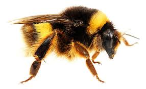 Image result for IMAGES bumble bee