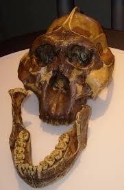 "Cráneo de Paranthropus conocido como ""cascanueces"""