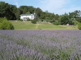 organic farm nc client news farmhouse lavender