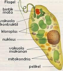 Euglena firidis