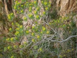 Euphorbia dendroides - Wikipedia