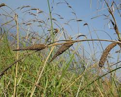 Carex hispida (Hispid Sedge) : MaltaWildPlants.com - the online ...