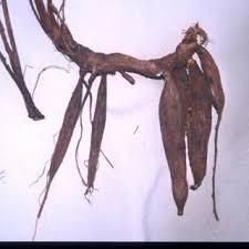 Cirsium tuberosum | Online Atlas of the British and Irish Flora
