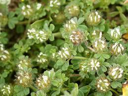 Trifolium cherleri - Wikipedia, la enciclopedia libre