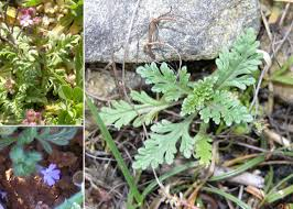Verbena supina L. - An interactive guide to the flora of the temporary ...