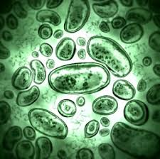 Image result for healthy gut bacteria