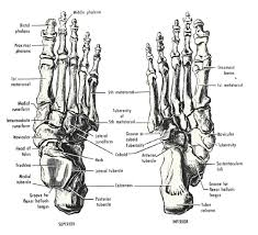 human foot bones diagram bones   cloudpixhuman foot bones diagram bones