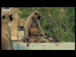 New leader kills <b>monkey</b> babies - <b>Monkey</b> Warriors - BBC animals ...