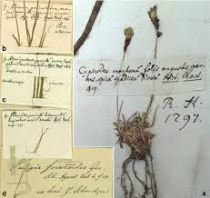 Label of specimens written by Scheuchzer. a) Carex montana ...