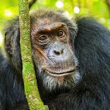 Stress hormone levels in aging <b>wild</b> chimpanzees <b>mirrors</b> that of ...