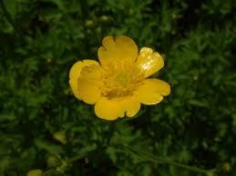 Ranunculus serbicus - Wikimedia Commons