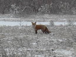 Στη Κατεχάκη   βρέθηκε τραυματισμένη αλεπού!