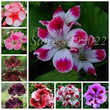 <b>2019 New Arrival</b> 100 pcs/ bag <b>Outdoor</b> Geranium Plantas Perennial ...
