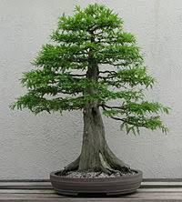 bonsai stylesedit bonsai tree