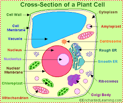 plant cell anatomy   enchantedlearning complant cell anatomy