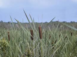 Typha latifolia (Broadleaf cattail) | Native Plants of North America