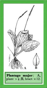 Plantago major in Flora of Pakistan @ efloras.org