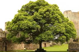 Image result for linden tree