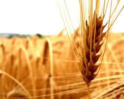 Field of wheat Vital Force Clinic St Louis