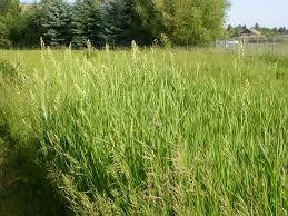Reed canary grass