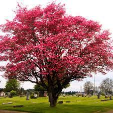 Image result for Red Dogwood Tree