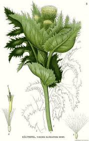 Cirsium oleraceum Cabbage Thistle PFAF Plant Database