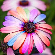Time Limit!!100pcs <b>New Arrival Flower</b> Bonsai Daisy Plantas, Rare ...