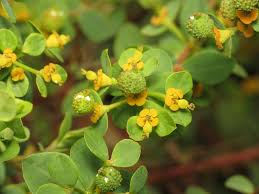 File:Euphorbia flavicoma (8755369740).jpg - Wikimedia Commons