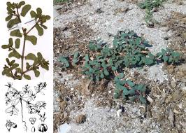 Euphorbia peplis L. - Portale sulla flora del Parco Nazionale dell ...